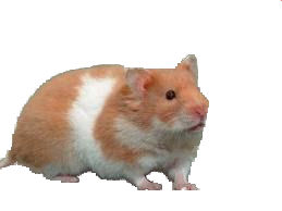 dwarf hamsters | Hamsters As Pets